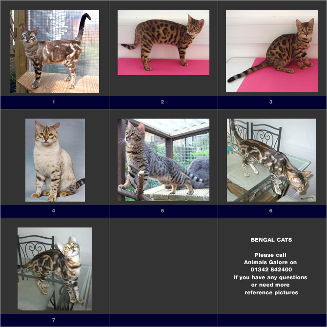 Shown here are a few examples of Bengal cats