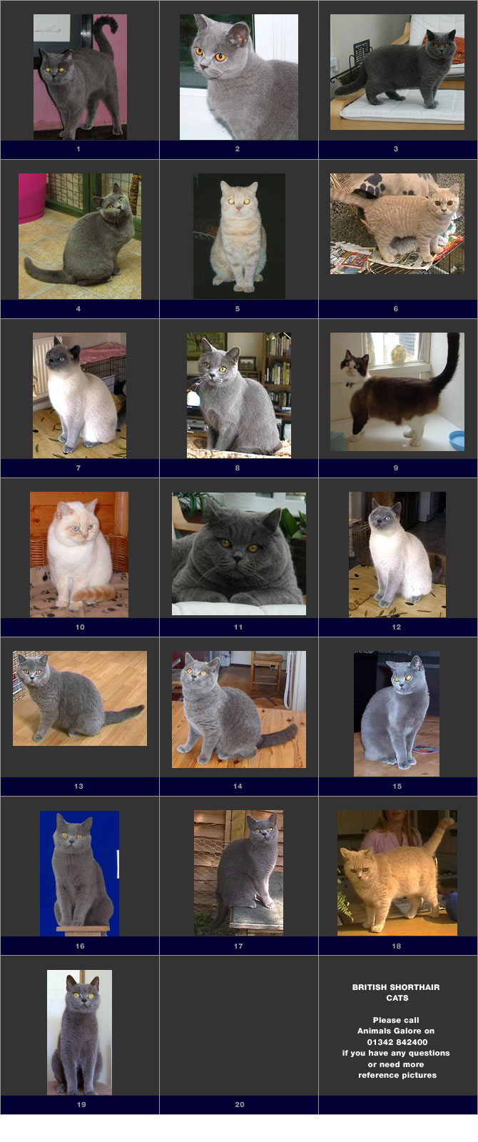 Shown here are a few examples of British Blue cats