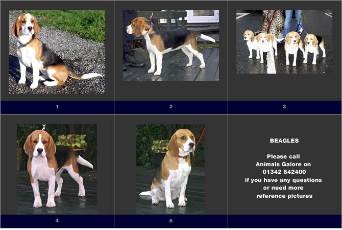 Images of Beagle dogs